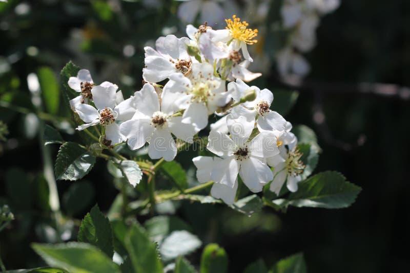 Много-зацветенный поднял, японец поднял, multiflora Розы стоковая фотография rf