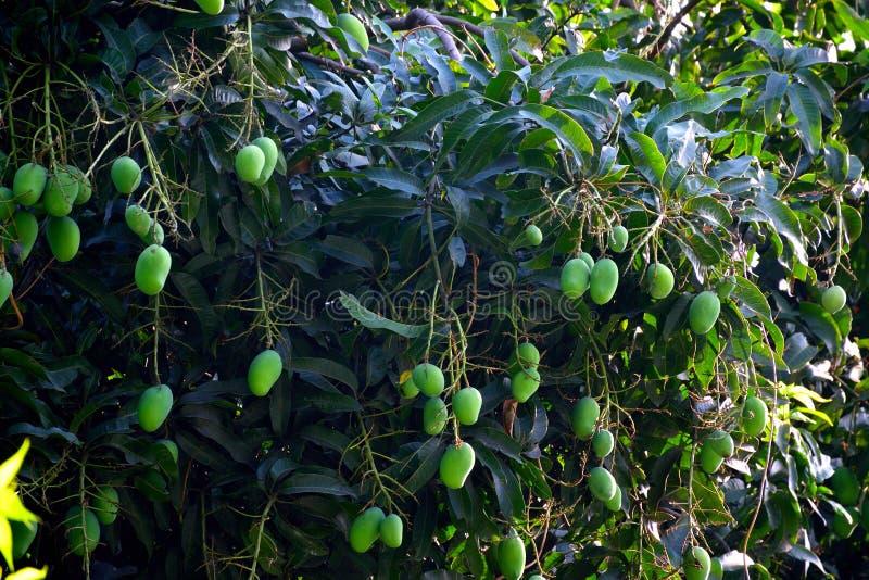Много зеленых манго в ветвях на западной Бенгалии Индии стоковая фотография rf