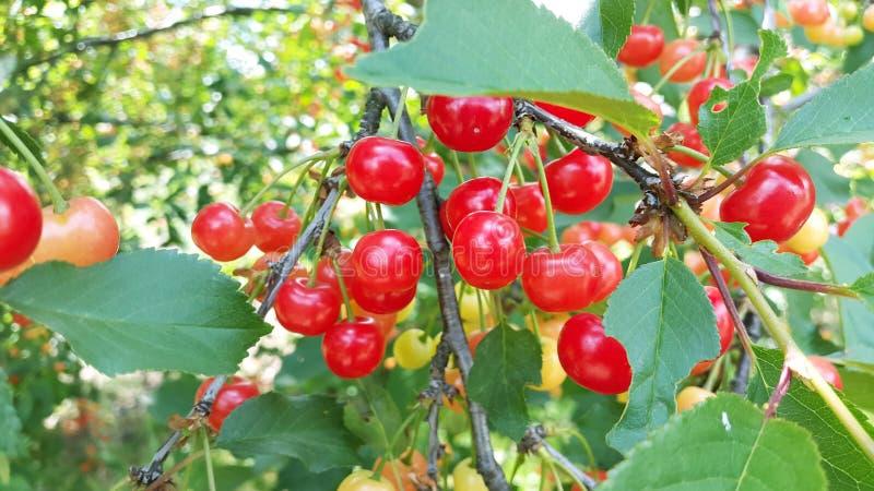 Много зрелых и незрелых вишен на дереве стоковое фото