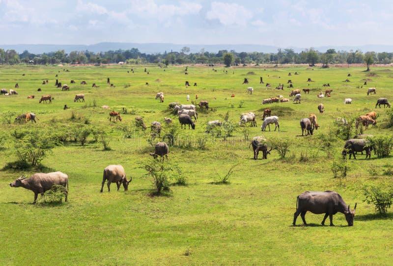 Много индийские буйволы и коров пася на поле стоковое фото