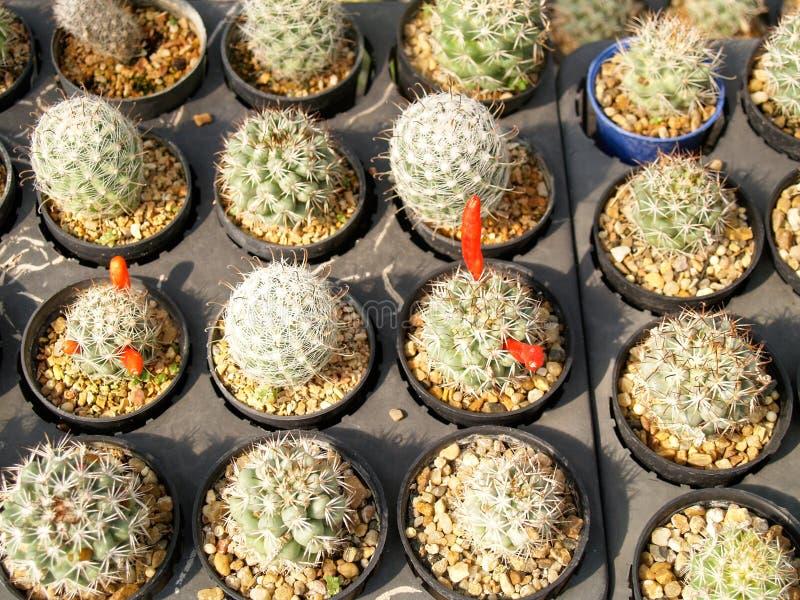 Много кактус в саде стоковое фото rf