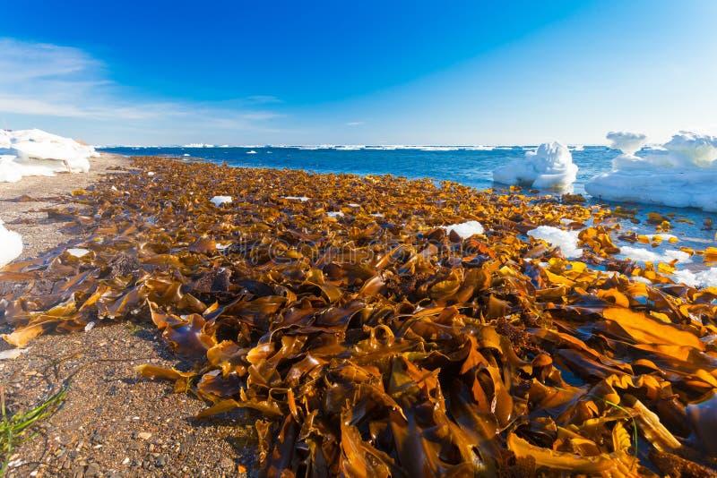 Много келп ламинарии морская водоросль помытая на берег на пляже моря Охотска на сезоне зимы стоковые изображения rf