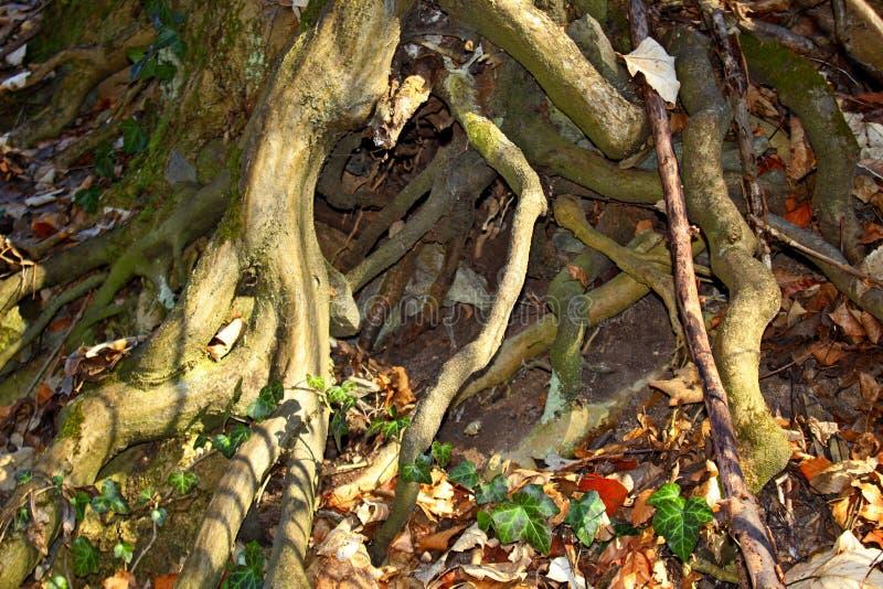 Много корней дерева растут к земле стоковое фото rf