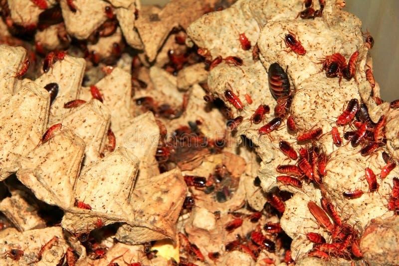 Много красные тараканы стоковая фотография rf
