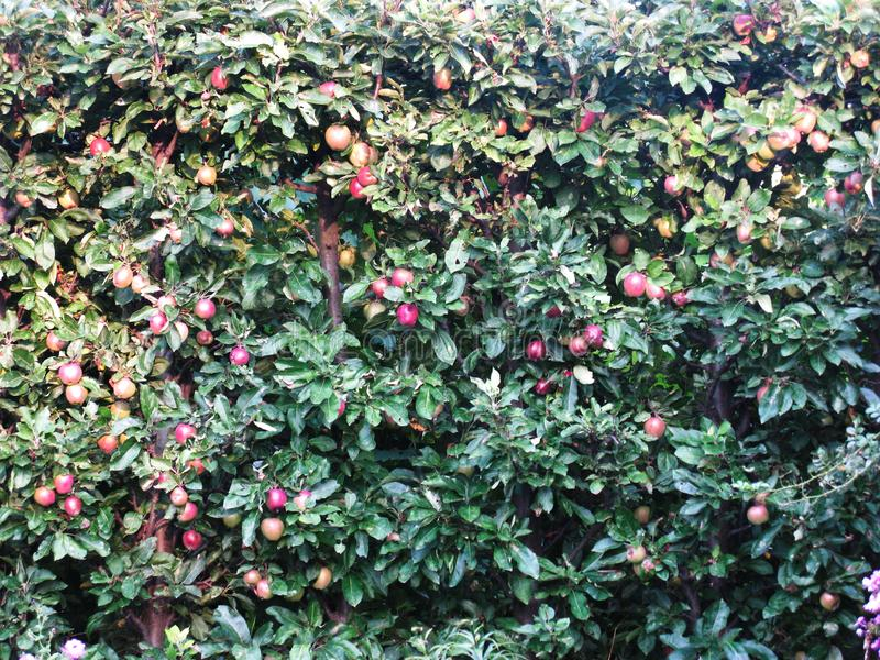 Много красные яблоки созрели на яблоне стоковые изображения rf