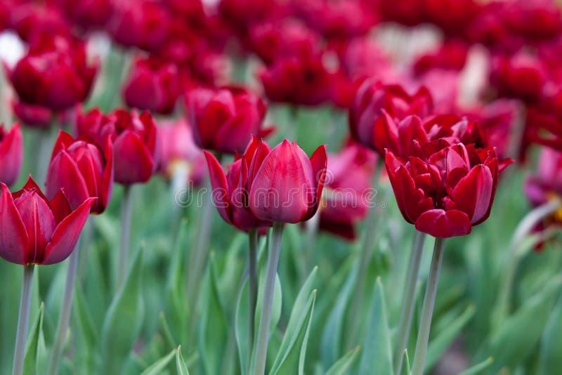 много красных тюльпанов стоковые фотографии rf