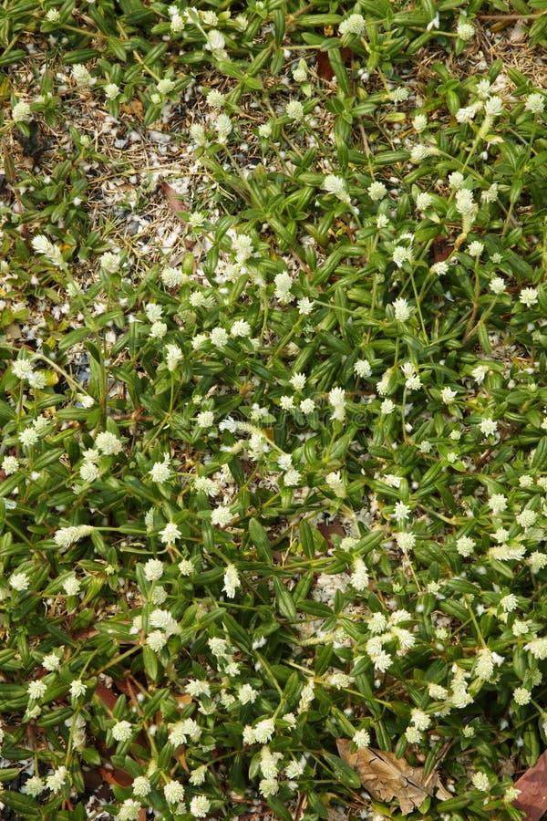 Download Много маленький белый цветок Стоковое Фото - изображение насчитывающей свежесть, жизнь: 40588288