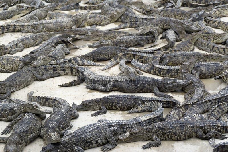 Много молодых лож крокодилов стоковая фотография rf