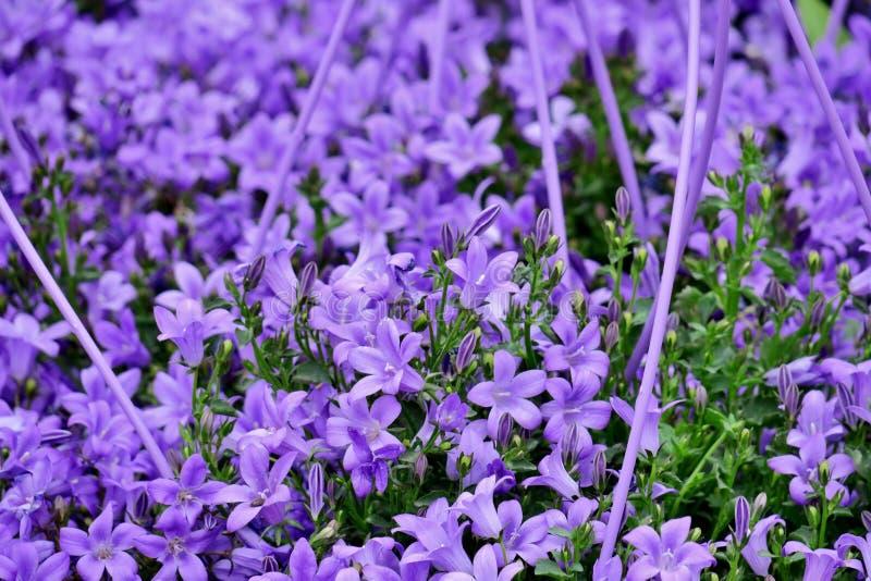 Много небольших ярких пурпурных цветков закрывают вверх стоковая фотография rf