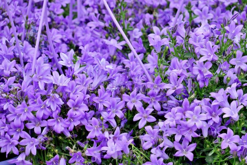 Много небольших ярких пурпурных цветков закрывают вверх стоковые изображения rf