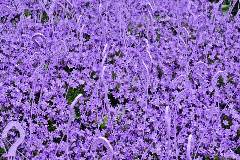Много небольших ярких пурпурных цветков закрывают вверх стоковое фото