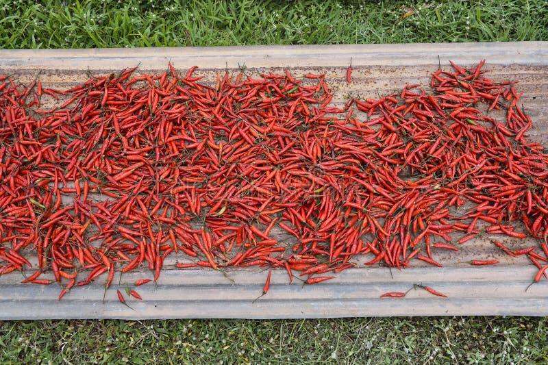 Много перцев красных чилей суша в солнце, Таиланде стоковые фото