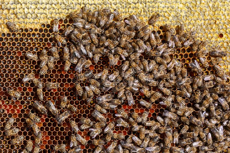 Много ползание на сотах, конец-вверх пчел стоковые фотографии rf