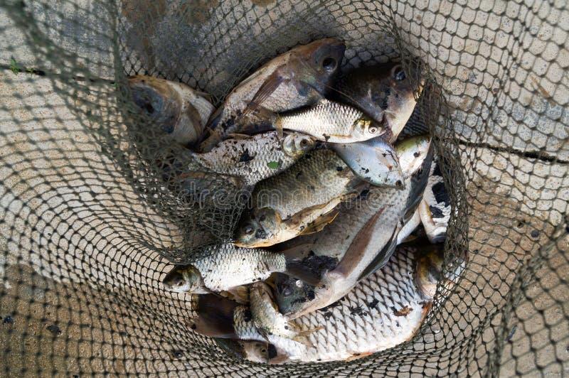 Много пресноводная рыба в сетке стоковые изображения rf