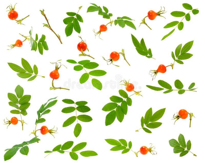 Много различных ветви, листья и ягод dogrose на различном стоковая фотография