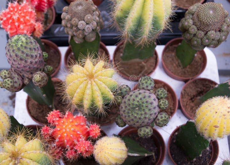 Много различные кактусы стоковые фотографии rf