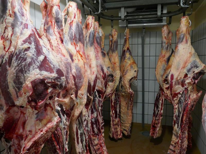 Много свежих зарезанных половин скотин висят в холодильной камере скотобойни в Германии, Шлезвиг-Гольштейне стоковые изображения