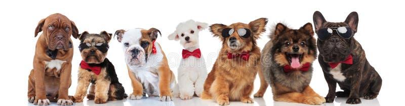 Много собак джентльмена с bowties на белой предпосылке стоковое фото