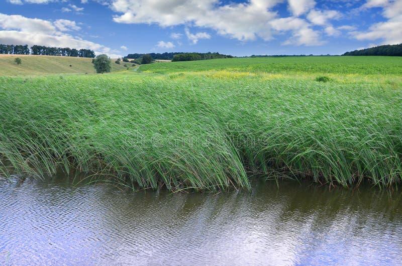 Много стержни от зеленых тростников растут от речной воды под пасмурным голубым небом Бесподобные тростники с длинным стержнем стоковое фото rf