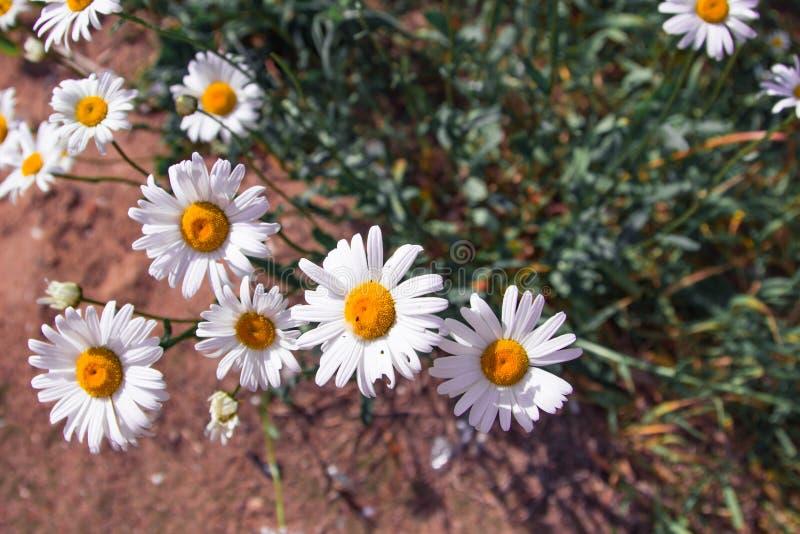 Много стоцветов Красивейшие белые маргаритки стоковые фотографии rf