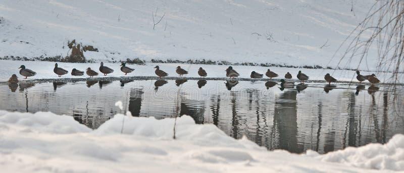 Много утки около небольшого озера в холодном зимнем дне Красивые ландшафты зимы с снегом, который замерли озером и птицами стоковая фотография