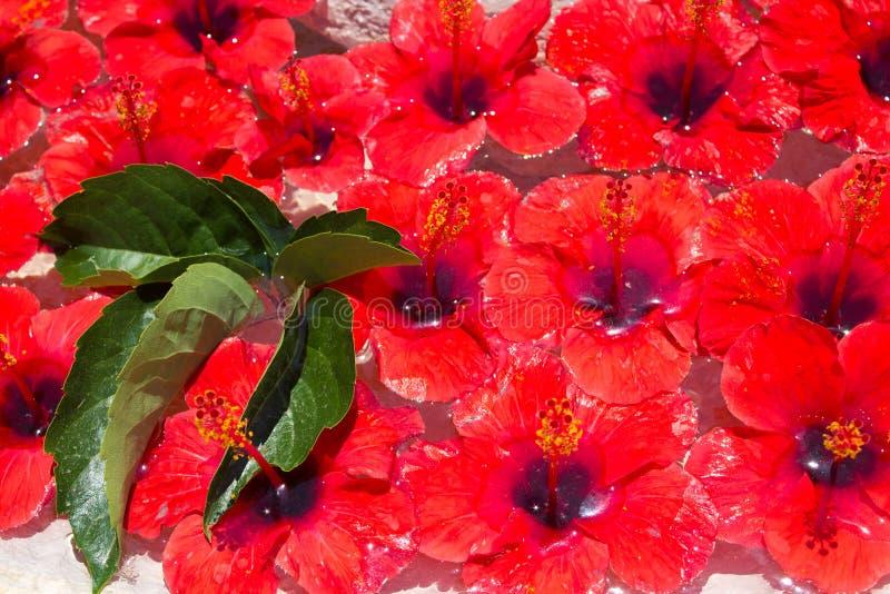 Много цветки бутонов гибискуса красных и зеленых листьев плавая в чистую воду в каменной вазе стоковые фото