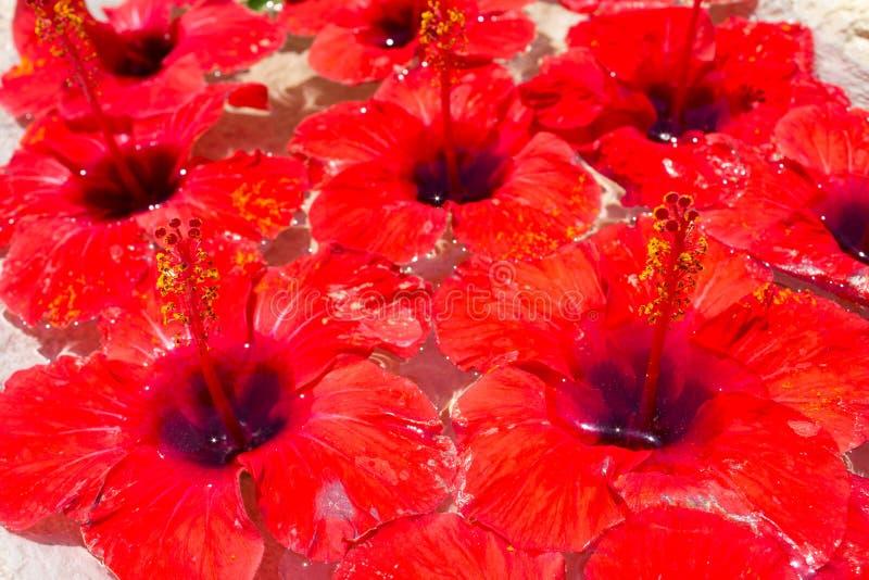 Много цветки бутонов гибискуса красных и зеленых листьев плавая в чистую воду в каменной вазе стоковое изображение rf