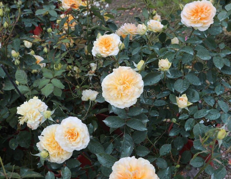 много цветков желтых роз стоковое фото rf