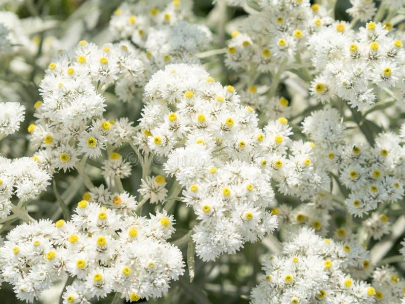 Много цветков anaphalis, покрашенный жемчуг стоковая фотография
