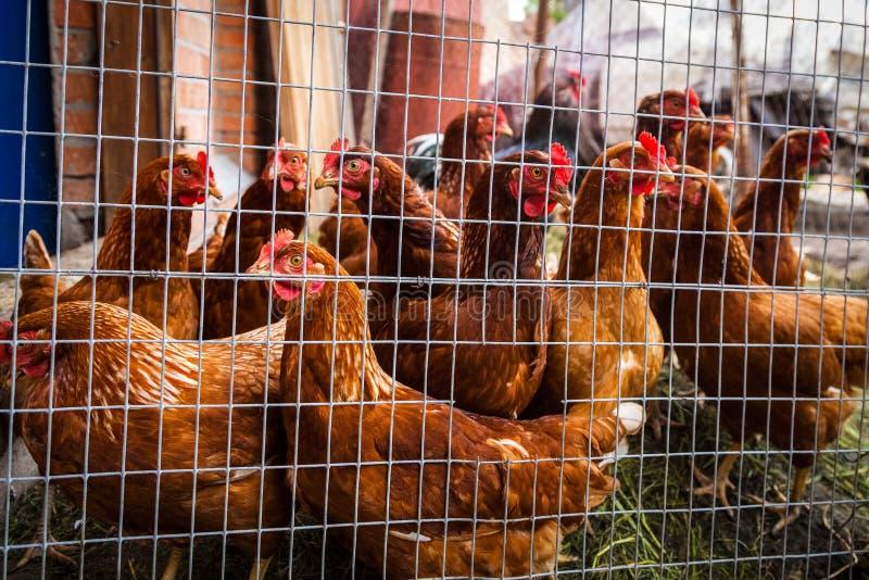 Много цыпленок в ферме стоковое изображение rf