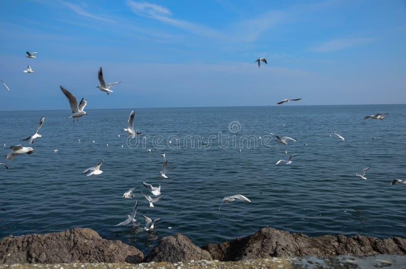 Много чайки моря воюя для хлеба Стая летать чайок стоковые изображения rf