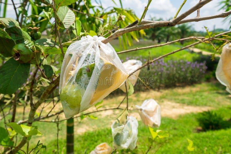 Много Guava в органической плодоводческой ферме, заботясь от ошибок с в полиэтиленовым пакетом стоковая фотография rf