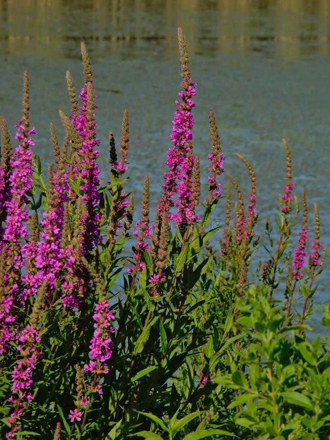 Много loosetrife Puprle цветет на стороне бассейна - salicaria Lythrum стоковое изображение rf
