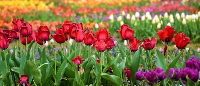 Множественный покрашенный сад тюльпана стоковая фотография rf