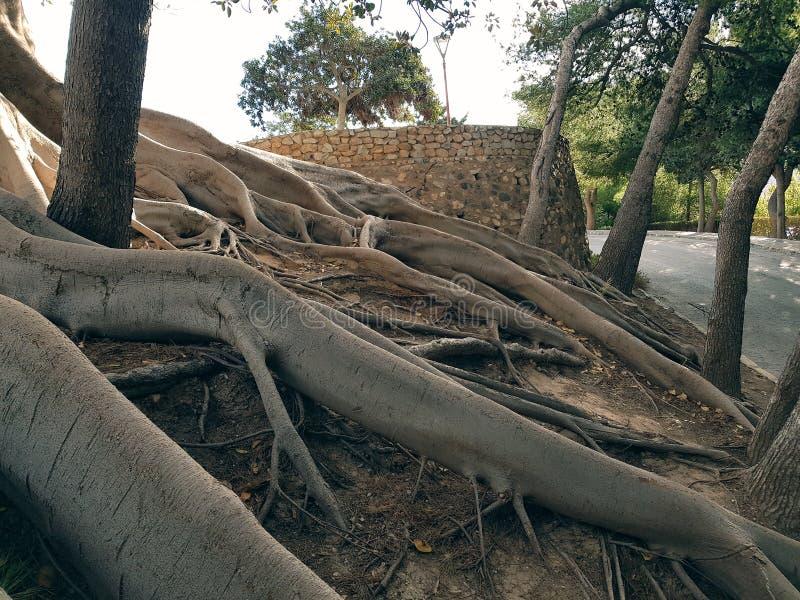 Могущественные корни дерева спутывают наклон холма стоковое фото rf