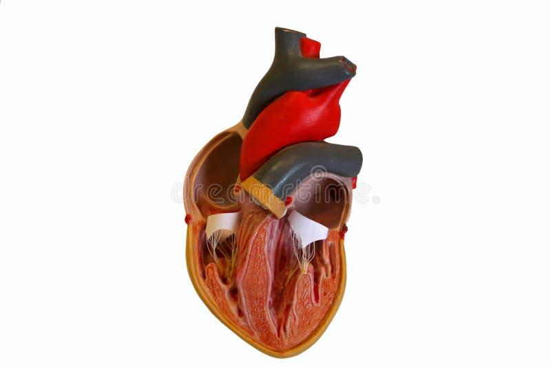 модель сердца стоковое изображение rf
