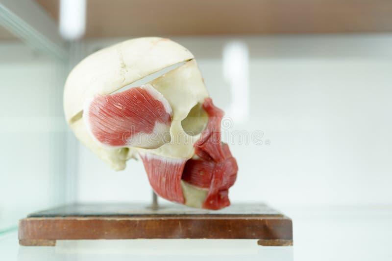 Модель черепа анатомии человеческая на белой предпосылке Часть модели человеческого лица с системой органа Медицинская концепция  стоковое изображение