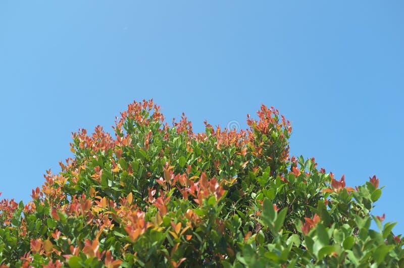 Можете вы запахнуть зацветая деревом НИКАКИМ 2 стоковая фотография rf