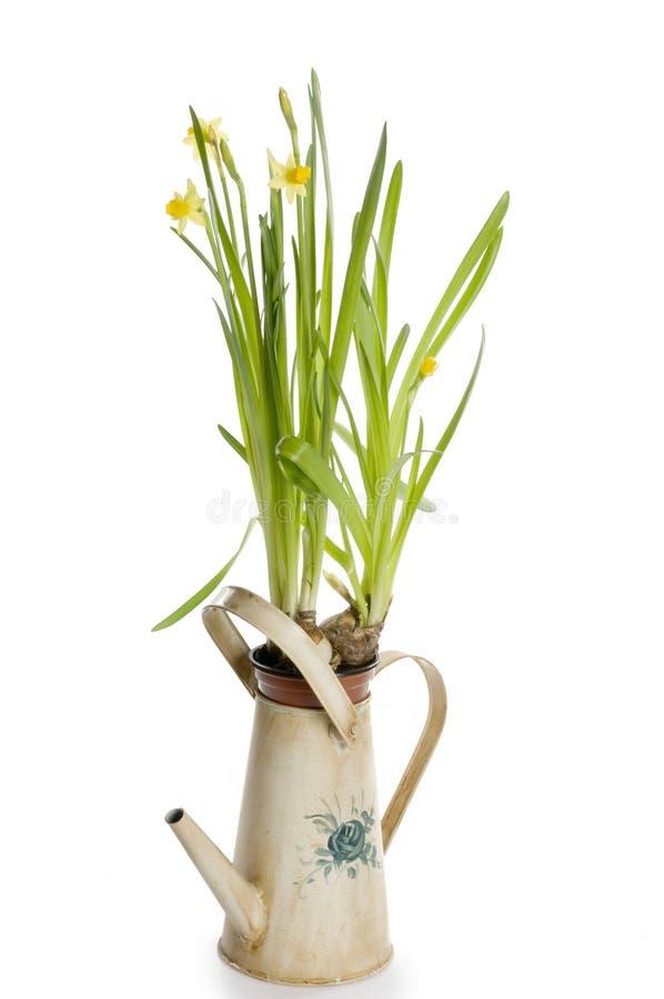 может мочить весны цветков daffodil стоковые изображения rf