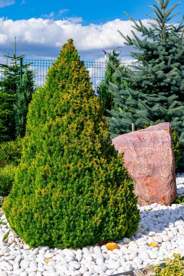 Можжевельник в форме конуса на белых камнях стоковые фото