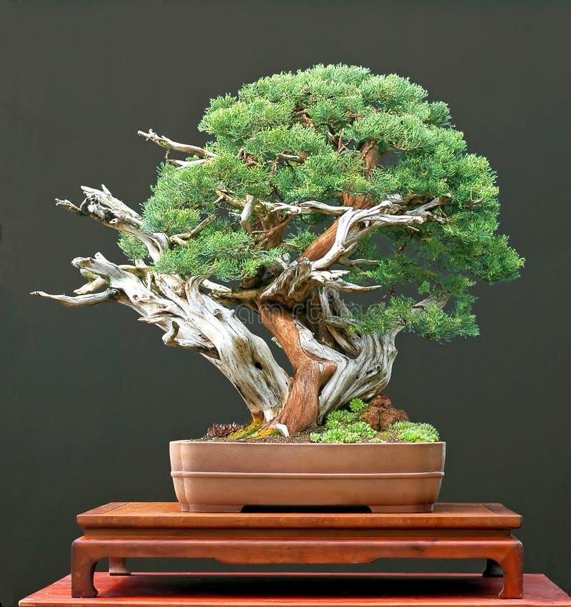 можжевельник китайца бонзаев стоковое фото
