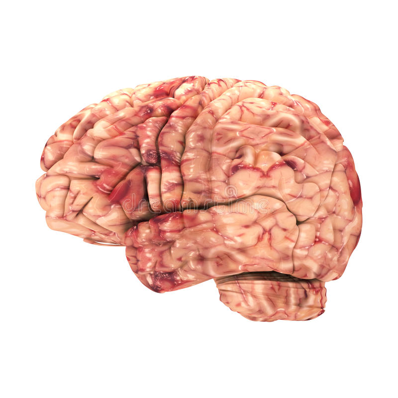 Мозг анатомии - изолированный взгляд со стороны иллюстрация штока