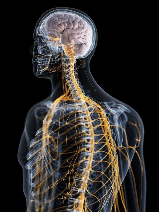 Мозг и нервная система иллюстрация штока