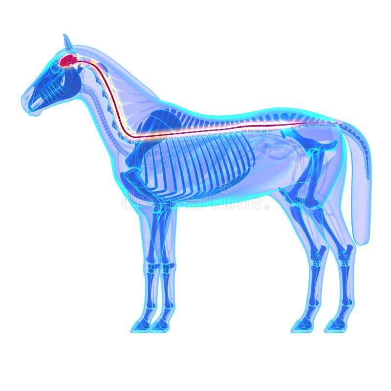 Мозг лошади и спинной мозг - анатомия Equus лошади - изолированные дальше иллюстрация вектора