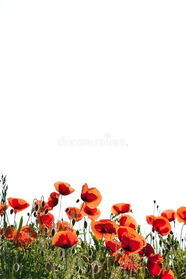 мозоль цветет rhoeas мака papaver стоковое изображение