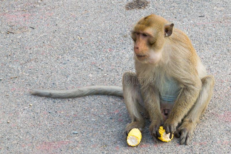 мозоль обезьяны сидя и eatting стоковые изображения