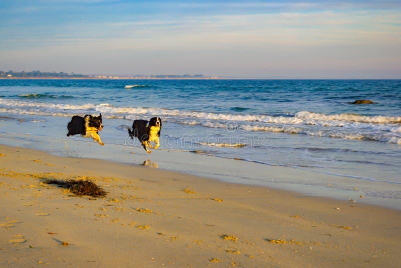 Мои собаки играя на пляже стоковые фотографии rf