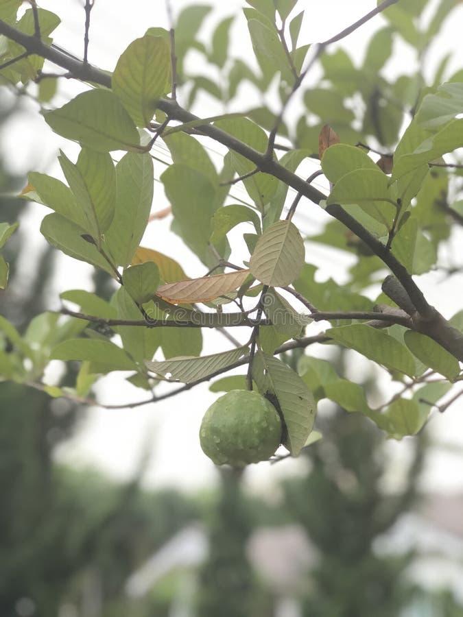 Мой маленький guava стоковое изображение rf