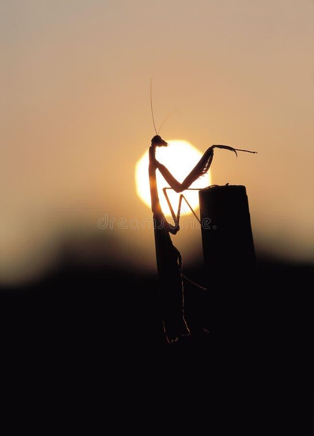 Download молить mantis стоковое изображение. изображение насчитывающей солнце - 77325