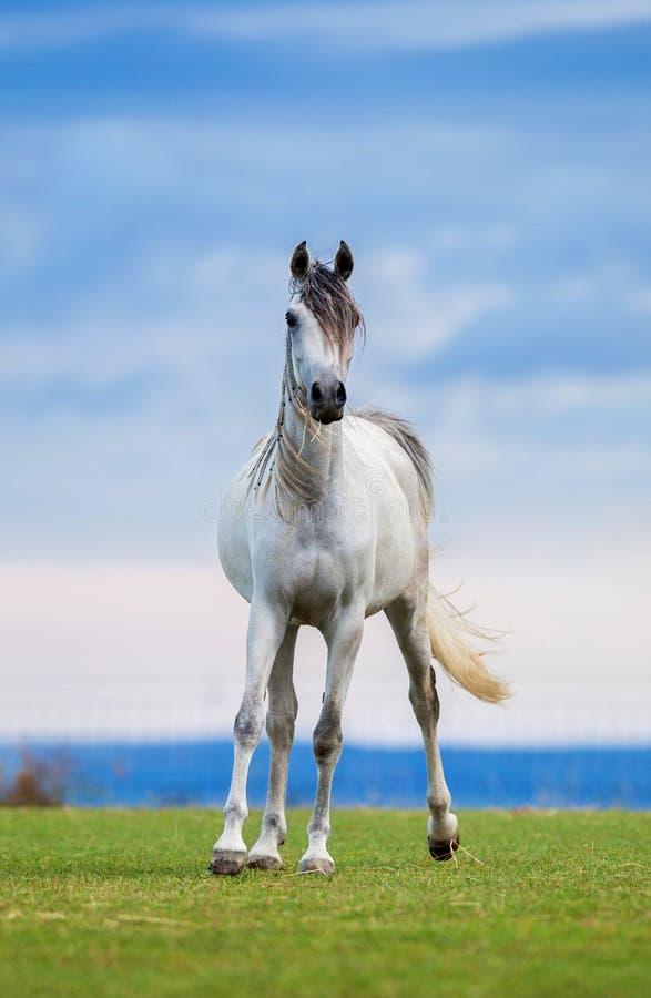 Молодая белая лошадь бежит вперед на луге стоковые изображения rf
